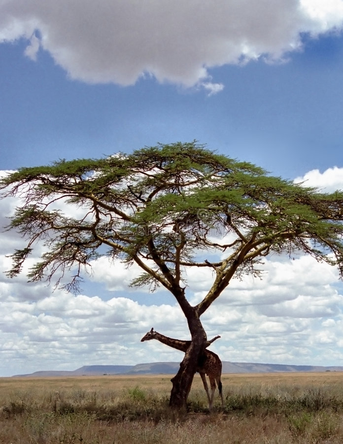 Download Giraffe under a tree stock image. Image of grass, lonely - 2807381