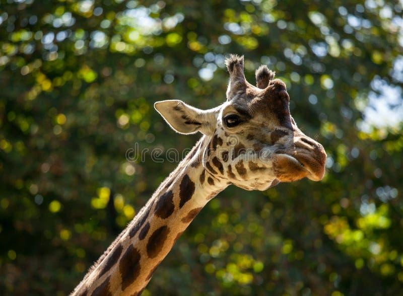 Giraffe unter grünen Bäumen stockfoto