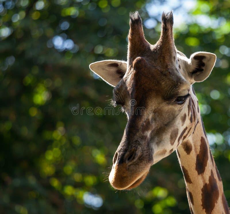 Giraffe unter grünen Bäumen stockfotografie