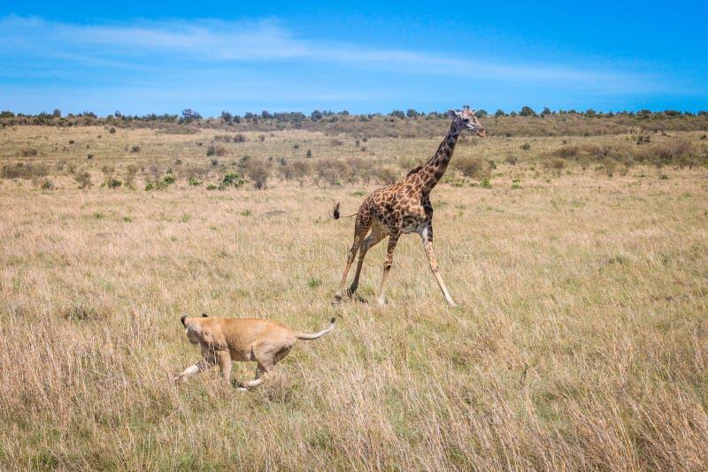 Giraffe vs. lioness stock photos