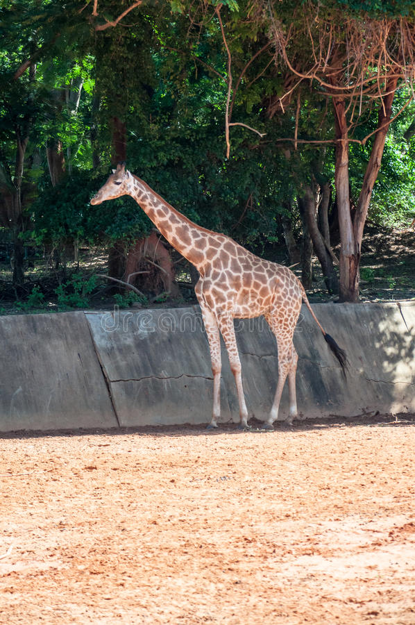 Giraffe waiting for feeding. stock photos
