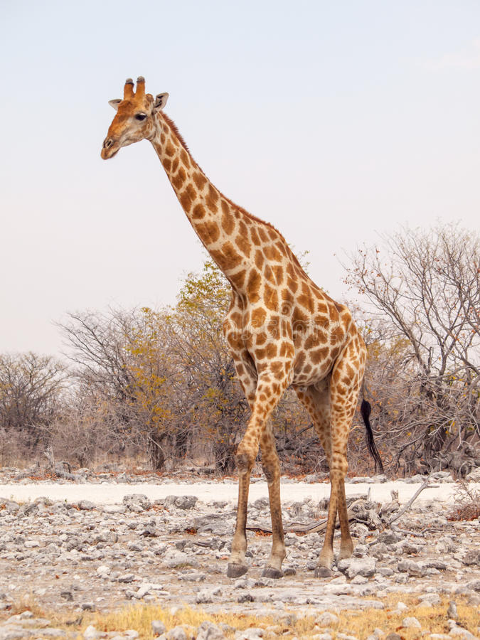 Giraffe walk in Etosha National Park, Namibia, Africa. royalty free stock image