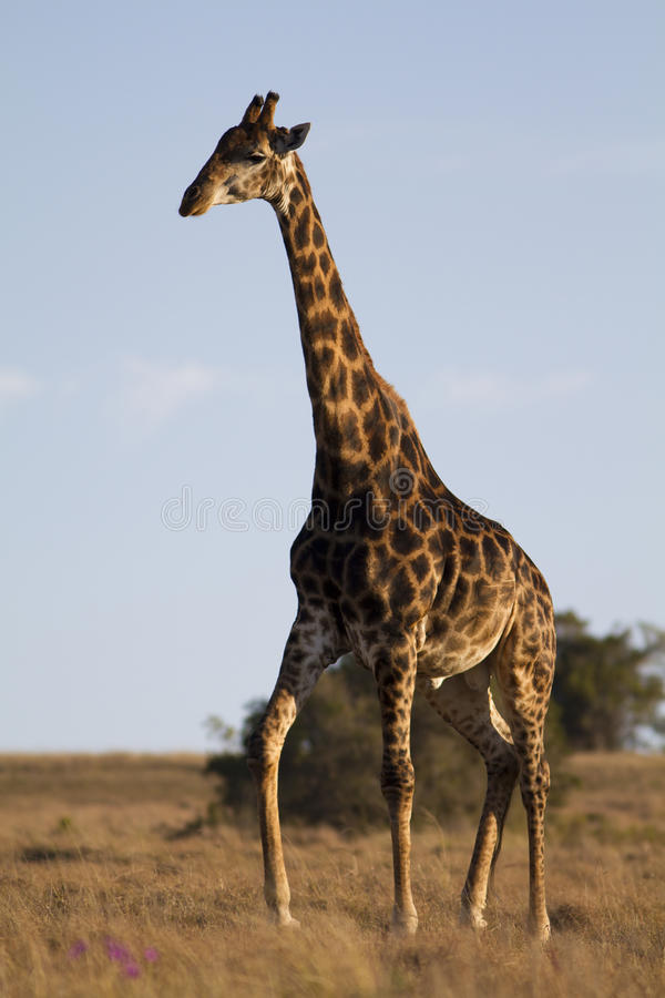 Download Giraffe walking stock image. Image of conservation, bush - 16400735