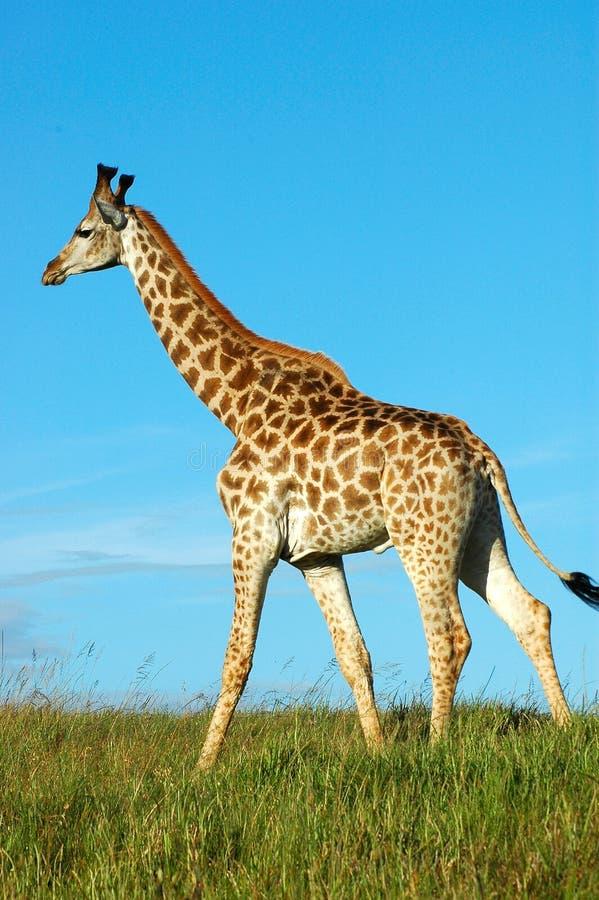 Download Giraffe walking stock image. Image of long, feed, feeding - 1648999