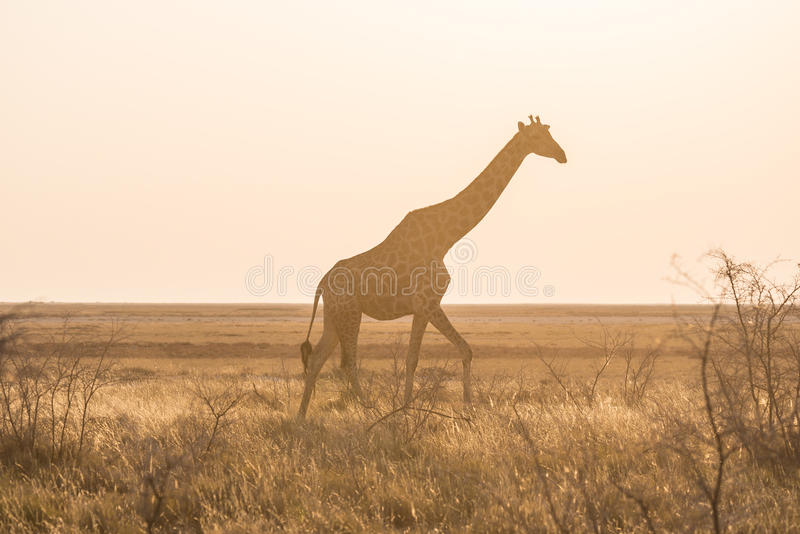 Giraffe walking in the bush on the desert pan at sunset. Wildlife Safari in the Etosha National Park, the main travel destination stock photos