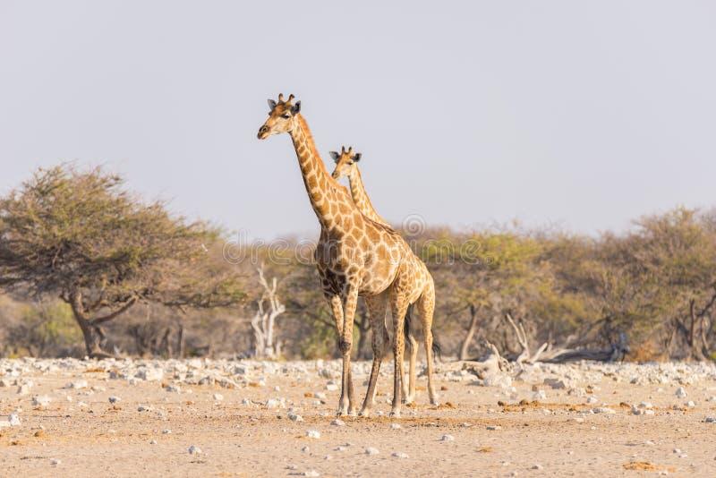 Giraffe walking in the bush on the desert pan. Wildlife Safari in the Etosha National Park, the main travel destination in Namibia. Africa. Profile view stock photo