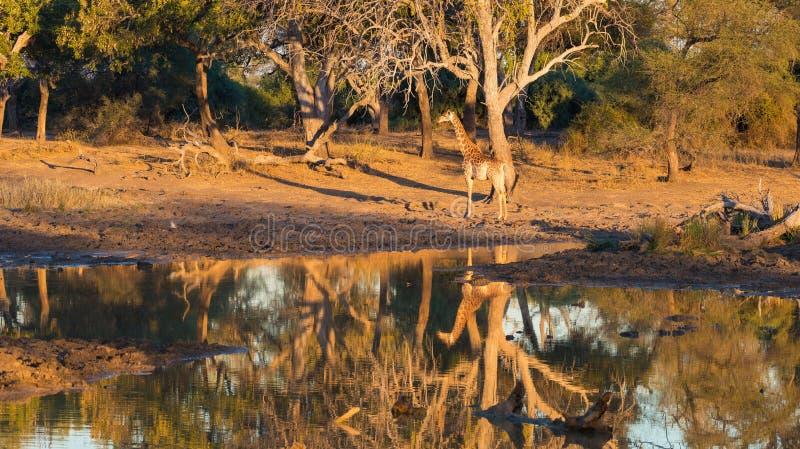 Giraffe walking towards waterhole at sunset. Wildlife Safari in the Mapungubwe National Park, South Africa. Scenic soft warm light.  royalty free stock images