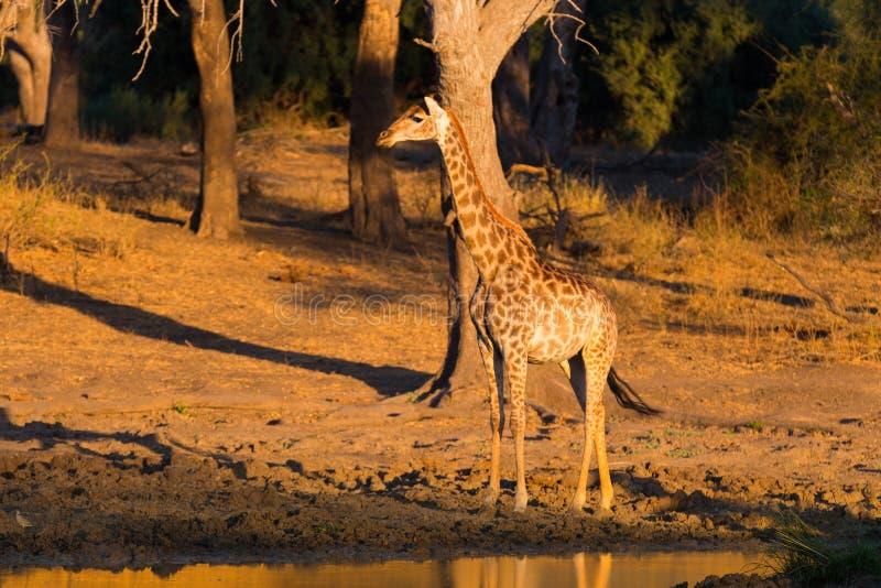 Giraffe walking towards waterhole at sunset. Wildlife Safari in the Mapungubwe National Park, South Africa. Scenic soft warm light.  stock images