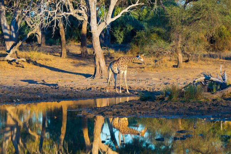 Giraffe walking towards waterhole at sunset. Wildlife Safari in the Mapungubwe National Park, South Africa. Scenic soft warm light.  royalty free stock photos