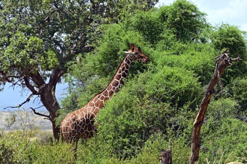 Download Giraffe stock photo. Image of habitat, timid, fauna, savannah - 39513836