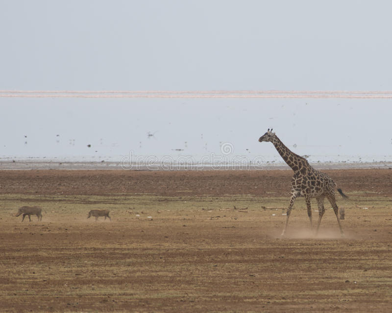 Giraffe and Warthogs. Giraffe and Wart hogs, at Lake Manyara National Park, in Arusha, Tanzania. Pink flamingoes may be seen in the distance royalty free stock image