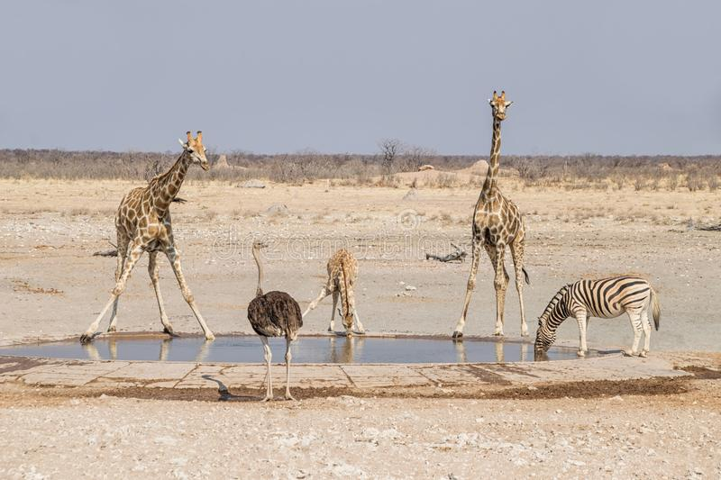 Giraffe At A Water Hole. Giraffe at a watering hole in the Namibian savanna royalty free stock photography