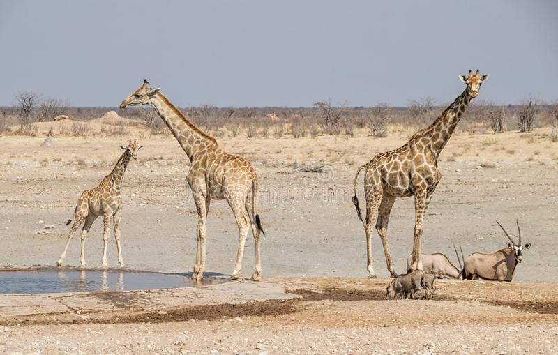 Giraffe At A Water Hole stock images