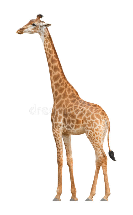 Giraffe on a white background royalty free stock photos