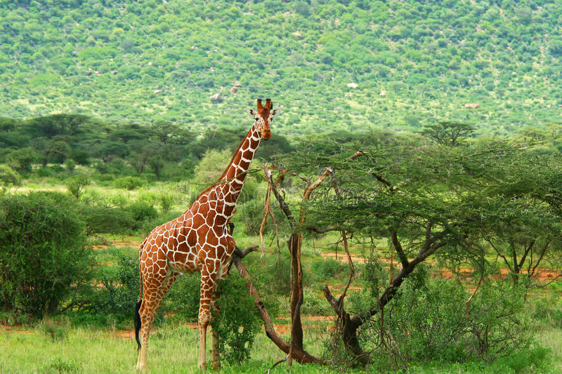 Giraffe In The Wild Stock Images