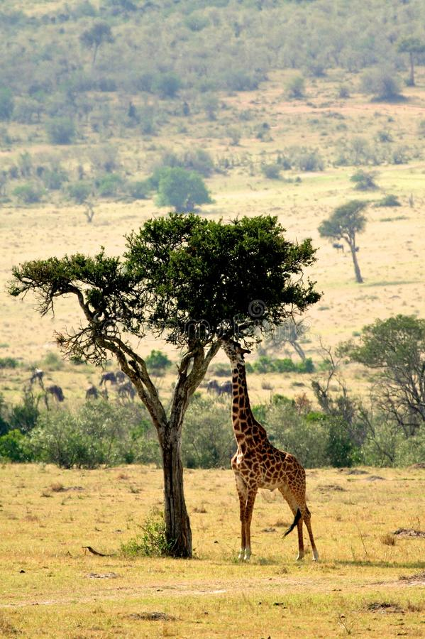 Download Giraffe stock photo. Image of front, destinations, east - 33075724