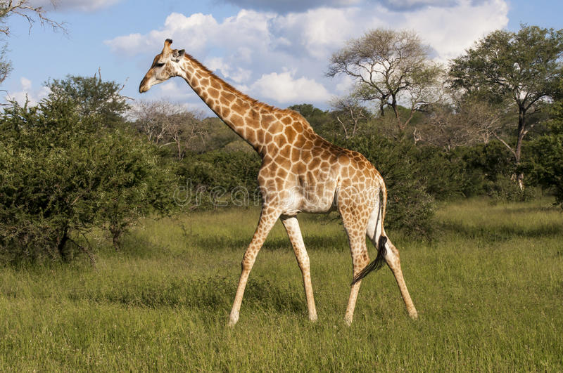 Giraffe in the wilderness in Africa. Giraffe strides very calmly in the African savanna of South African Game Reserve of Mala Mala