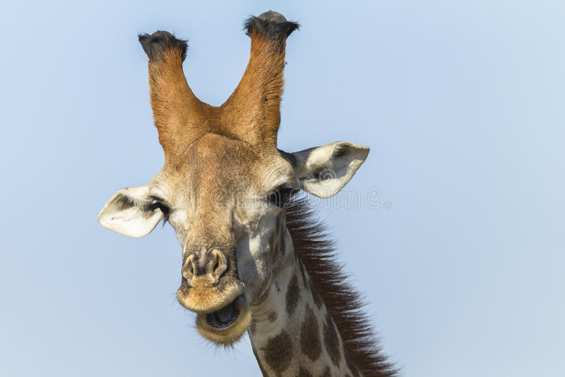 Giraffe Wildlife stock images