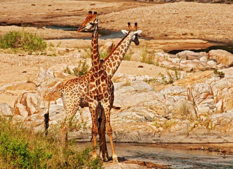 Giraffe, Wildlife, Terrestrial Animal, Fauna Free Public Domain Cc0 Image