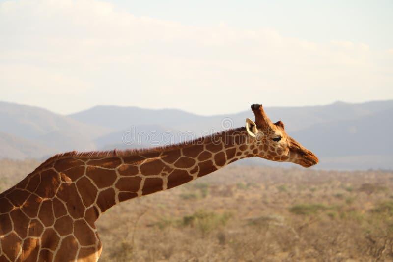 Giraffe, Wildlife, Terrestrial Animal, Fauna stock image