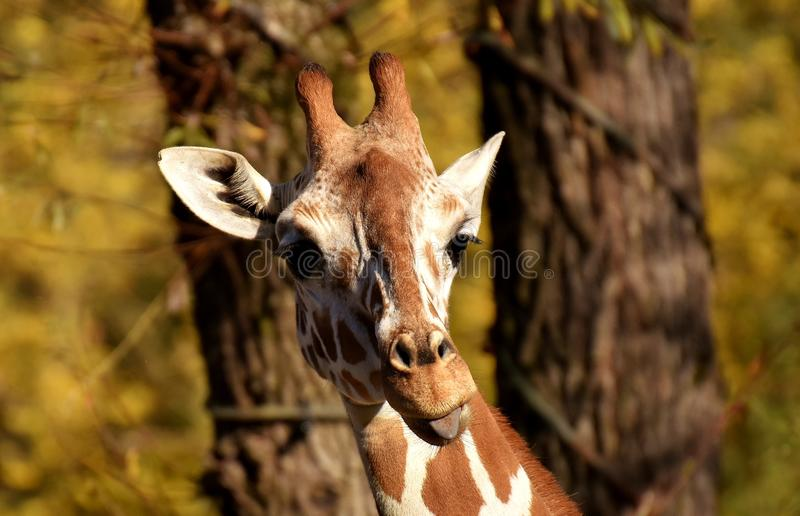 Giraffe, Wildlife, Terrestrial Animal, Fauna stock images