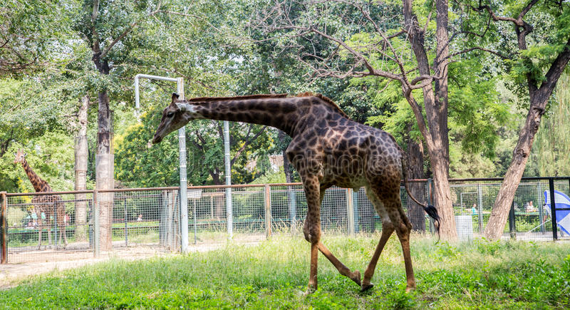 Giraffe. The giraffe is the worlds highest existing terrestrial animal. Standing from head to foot up to 6-8 meters, weighs about 700 kilograms stock photography
