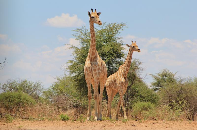 Download Giraffe, young stock image. Image of kalahari, free, blue - 27840301
