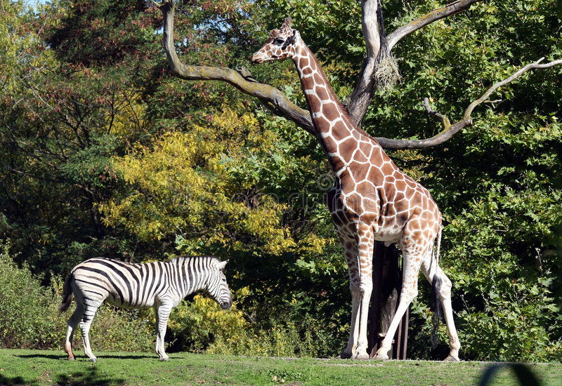 Giraffe-Zebra stockbild