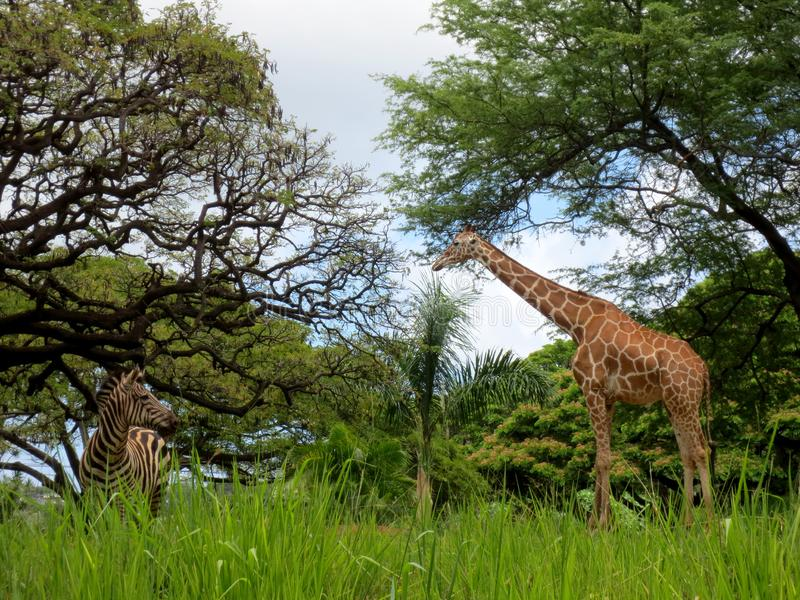 Giraffe and Zebra at the Honolulu Zoo stock photos
