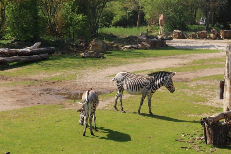 Giraffe and zebra walking in zoo in germany stock photo