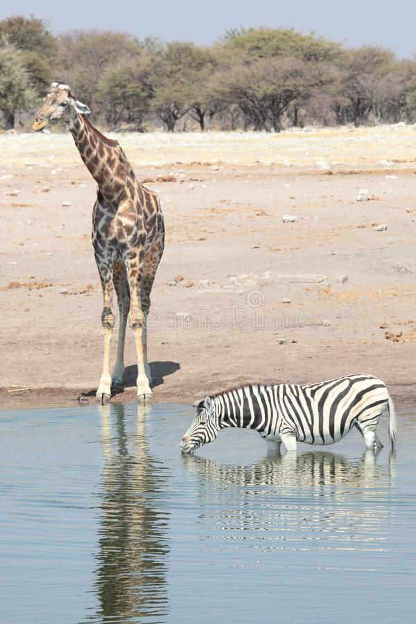 Giraffe and zebra at a watering hole royalty free stock photography