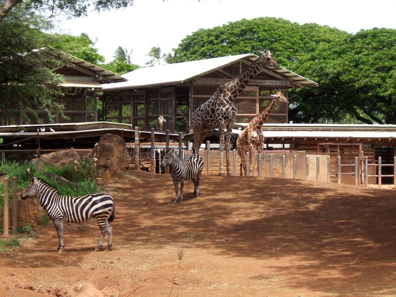 Giraffe and zebra in the zoo of Hawaii. You see one large and one small giraffe and two zebras. In the back the residence and green trees stock photography