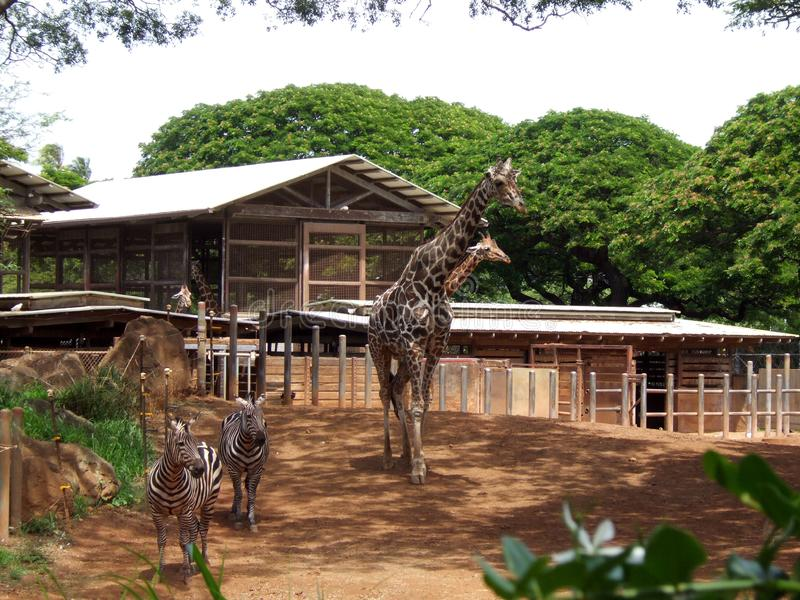 Giraffe and zebra in the zoo of Hawaii. You see one large and one small giraffe and two zebras. In the back by the residence you see also two giraffes and royalty free stock photo