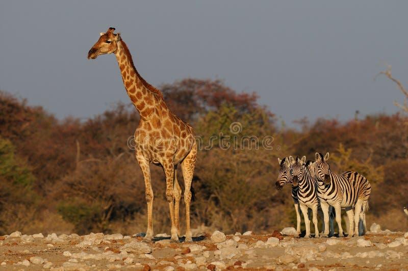 Giraffe with zebras, etosha nationalpark, namibia. Giraffe with a zebra group, etosha nationalpark, namibia, giraffa camelopardalis royalty free stock photos