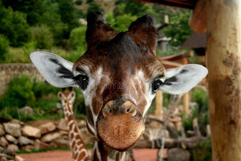 Giraffe at zoo. A close up of a giraffe taken at the Colorado Springs Zoo stock photos