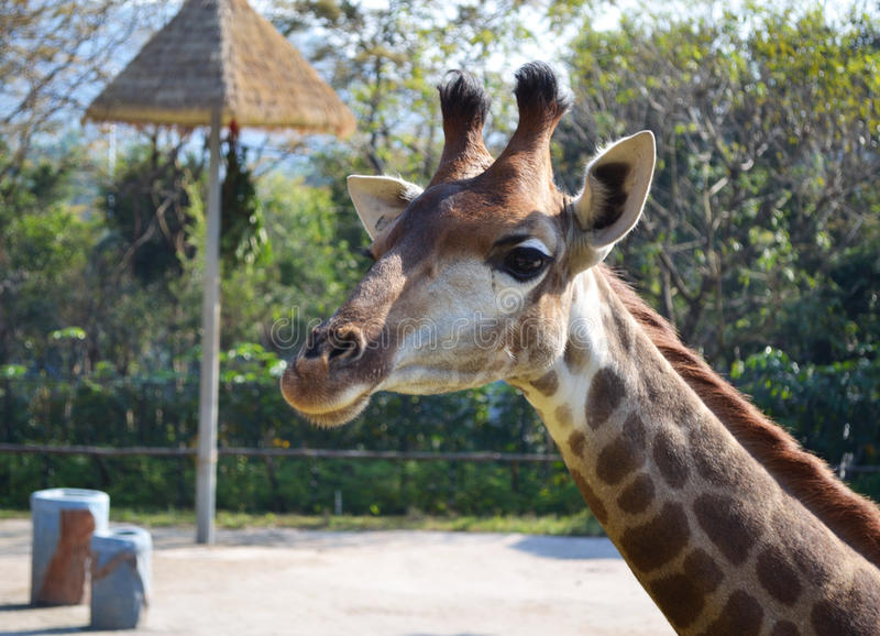 Download Giraffe in a zoo stock image. Image of cute, face, close - 36357891