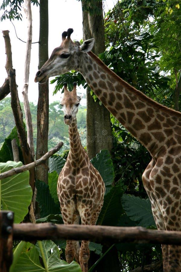 Giraffe - zoo de Singapour, Singapour image stock