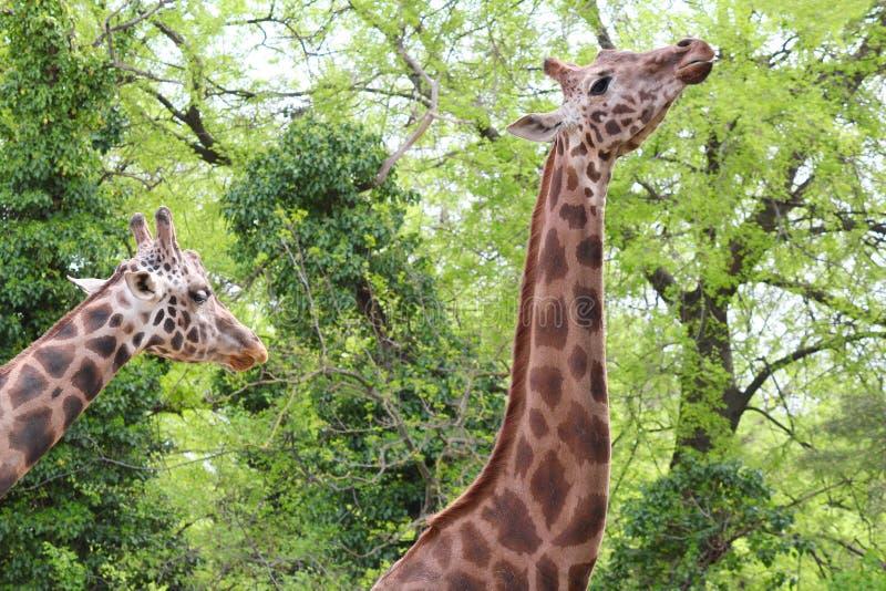 Giraffe zwei im Wald stockbilder