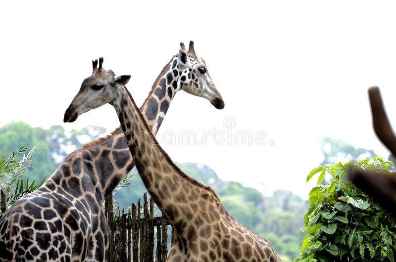 Giraffee 库存照片