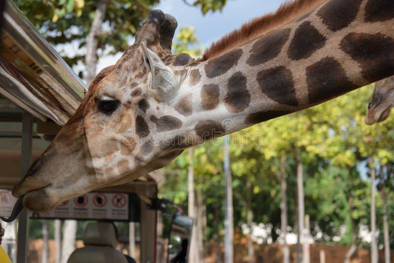 Giraffee divertido en safari de la noche de Chiangmai imagenes de archivo