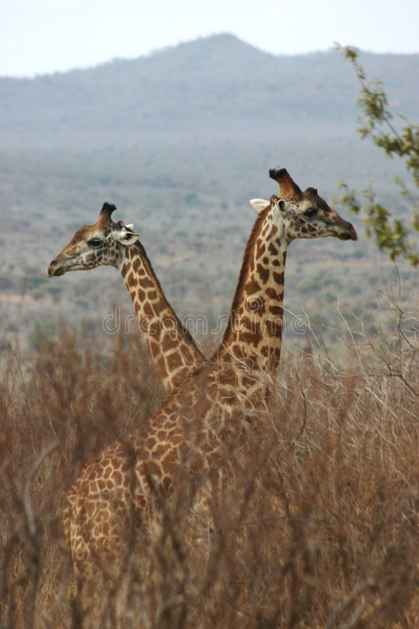 Giraffejungen 1.04 Lizenzfreie Stockfotos