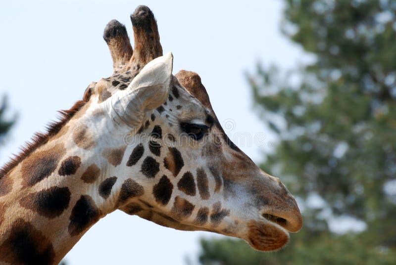 Giraffekopf stockfotos
