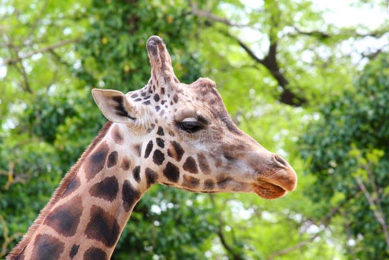 Giraffekopf stockbilder