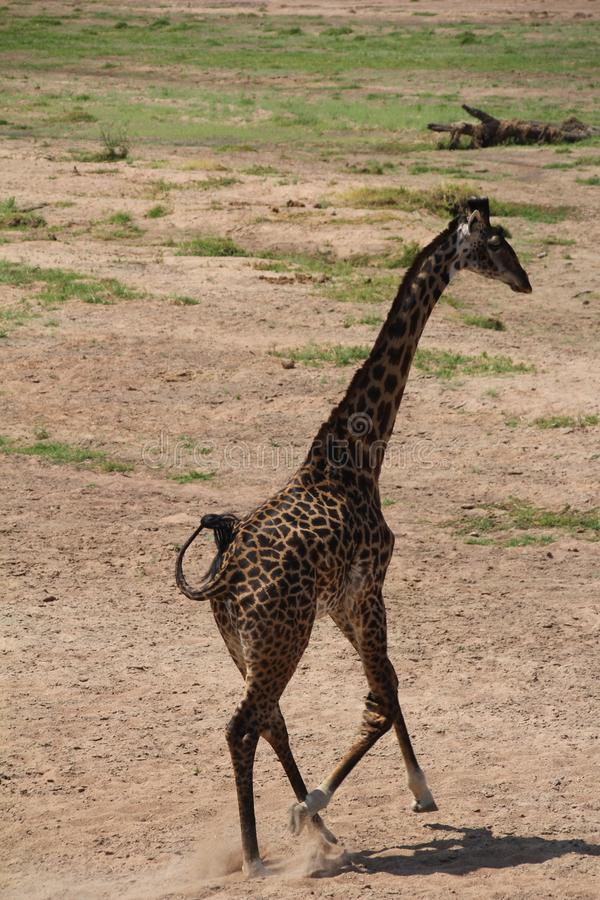 Giraffelooking for food day time. royalty free stock image