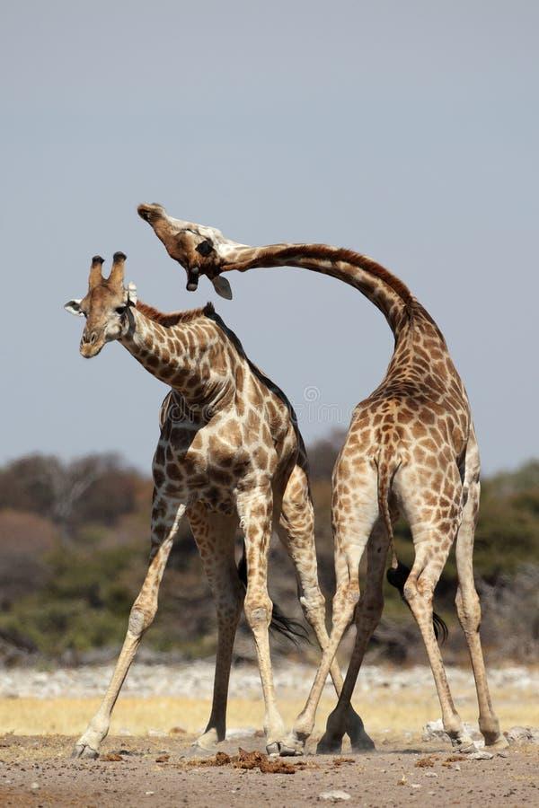 Giraffemanneskämpfen stockfoto