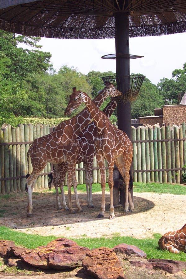 Giraffen - 1 royalty-vrije stock foto's