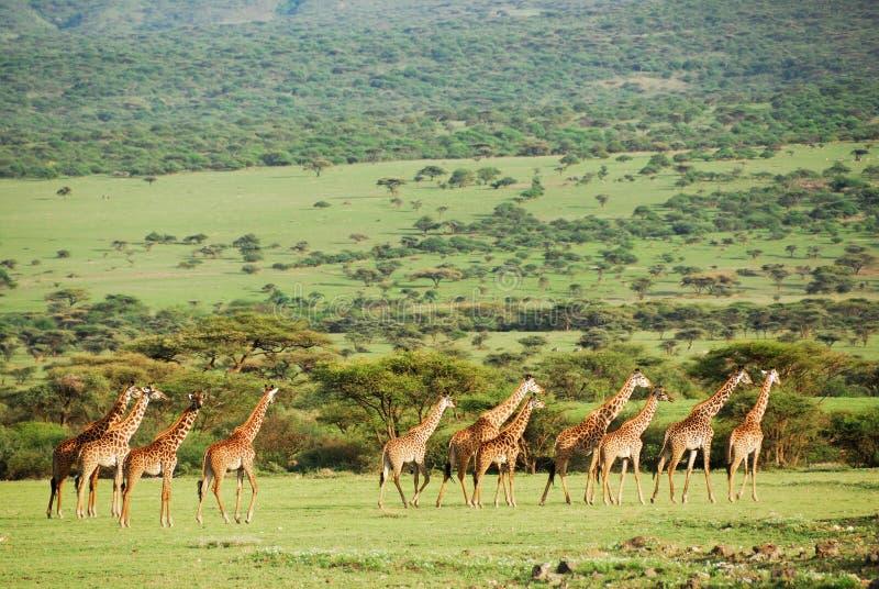 Giraffen royalty-vrije stock fotografie