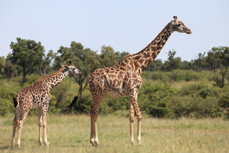 giraffen stock fotografie