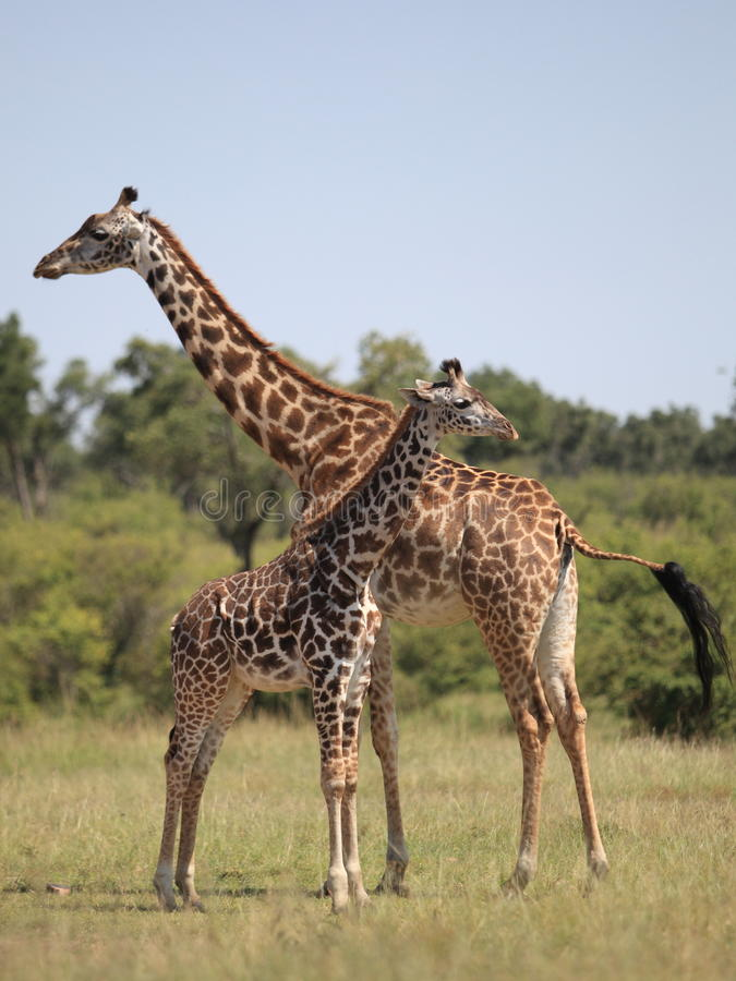 giraffen stock foto's