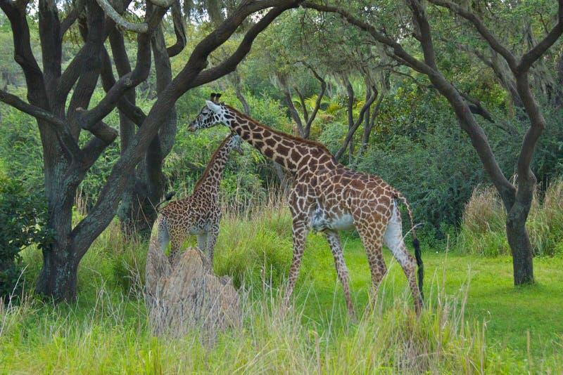 Giraffen in aard stock foto's